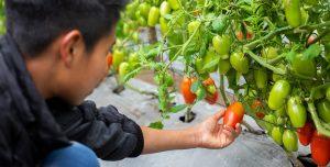 A boy picks a tomato of a vine in a garden.
