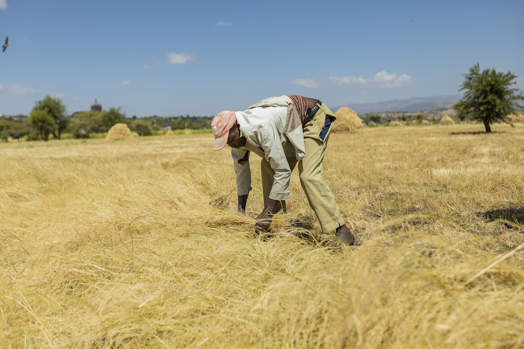 Wearing a hat, light jacket and khaki pants, Behailu bends over to collect some of his crops from his field.