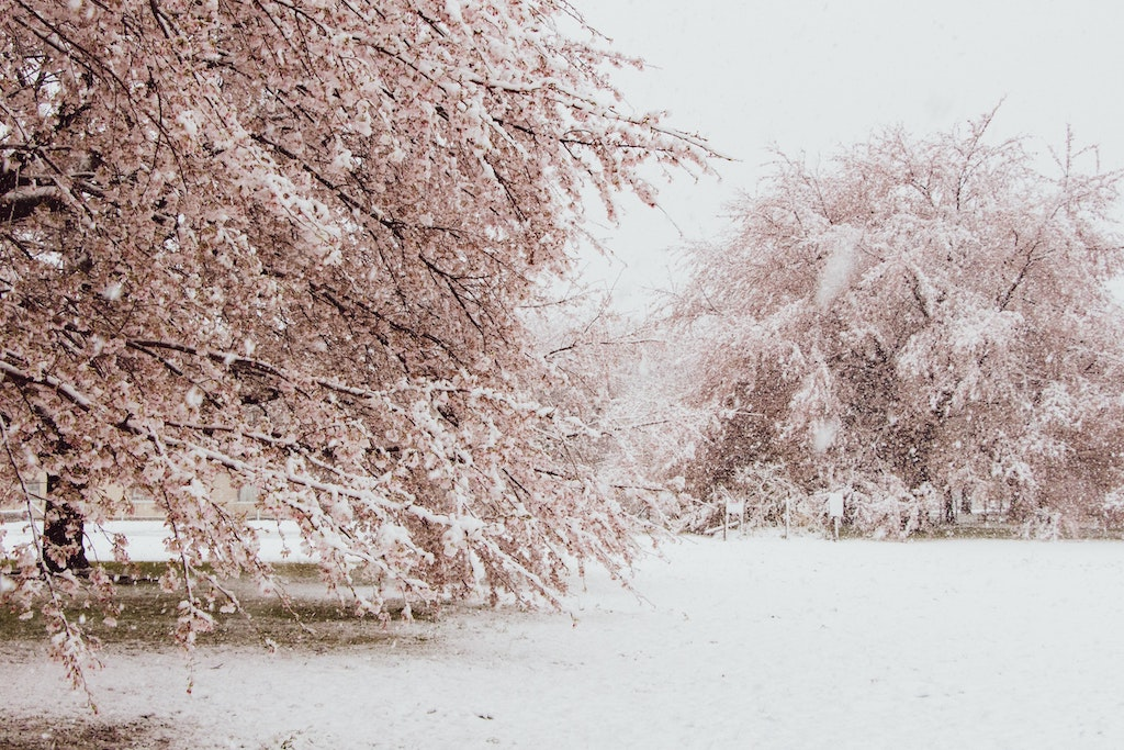 Cherry blossom trees are covered with snow