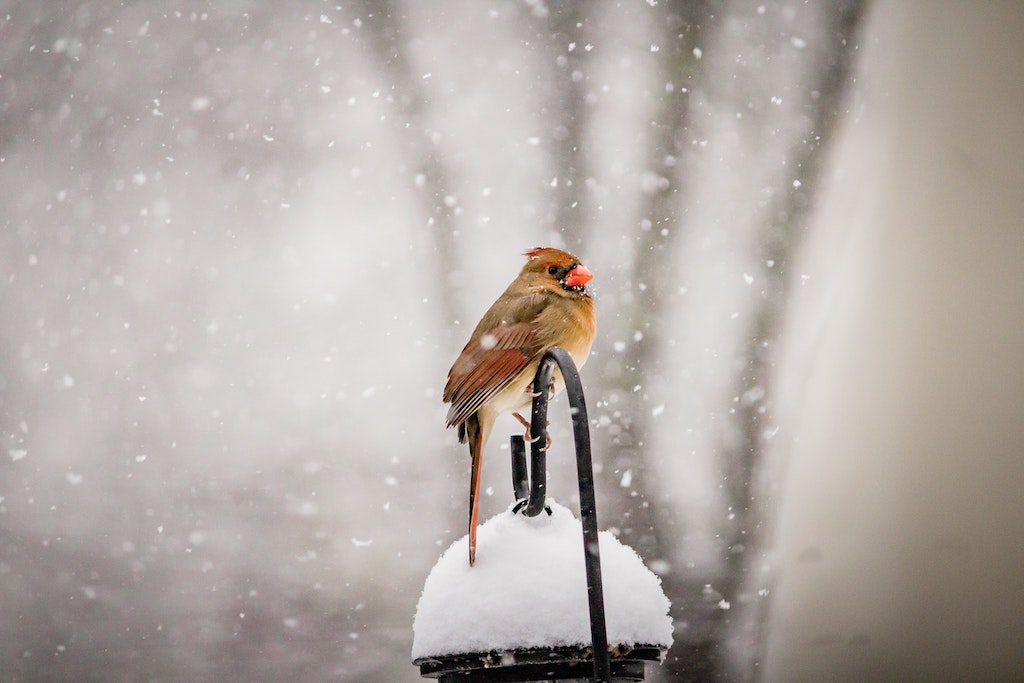 A orange and yellow bird sits on top of a bird feeder in the snow.