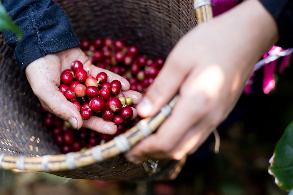 A close-up of Janjira's hands reaching in a basket and pulling out coffee cherries.