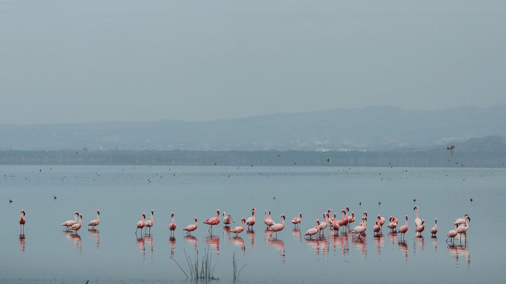 Pink flamingos in a lake.