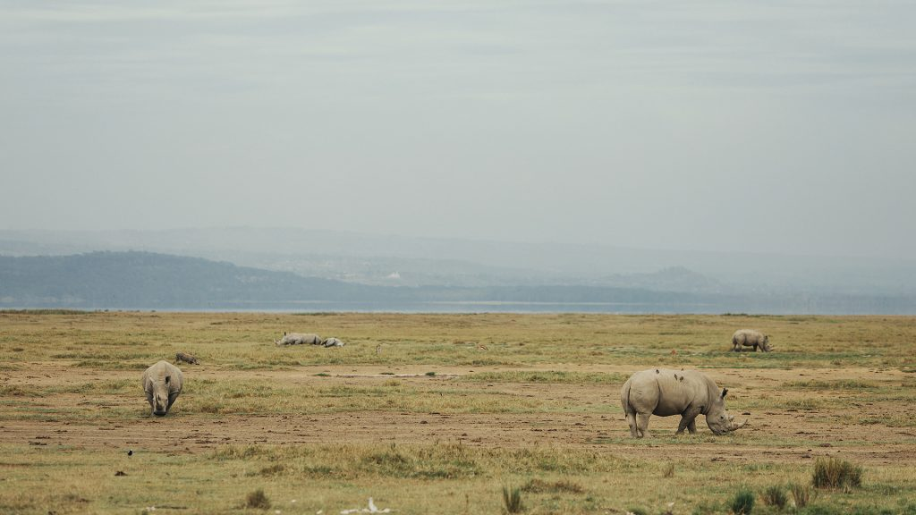Two Rhinos on a dry landscape