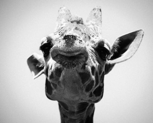 giraffe face in black and white