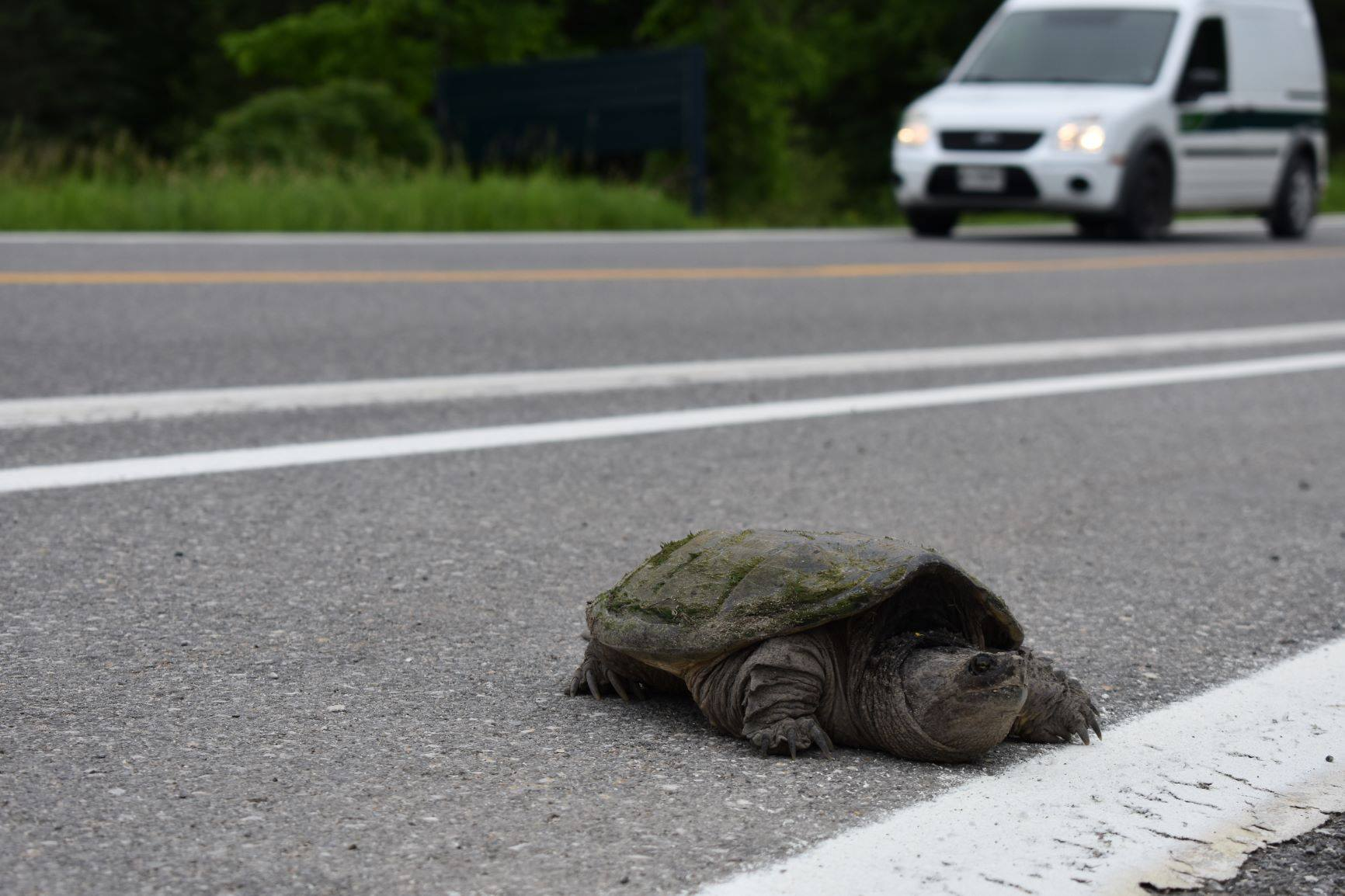 A snapping turtle crossing the road in Gatineau Park
