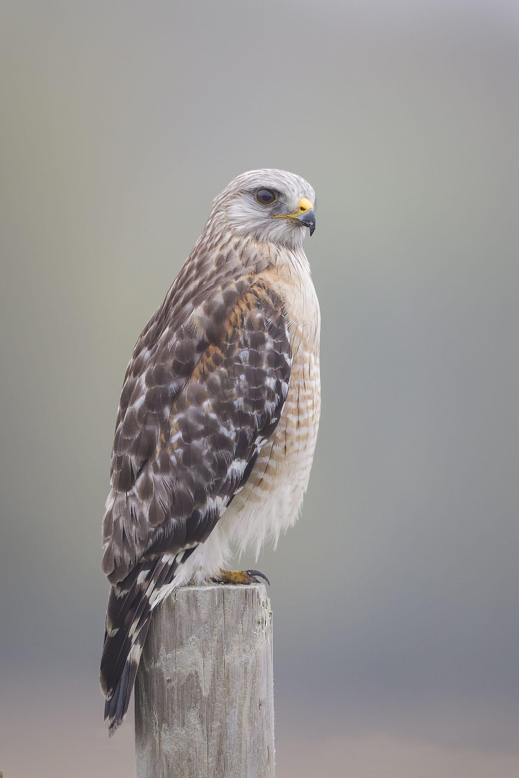 Sharon Janushewski , Red Shouldered Hawk, 2018