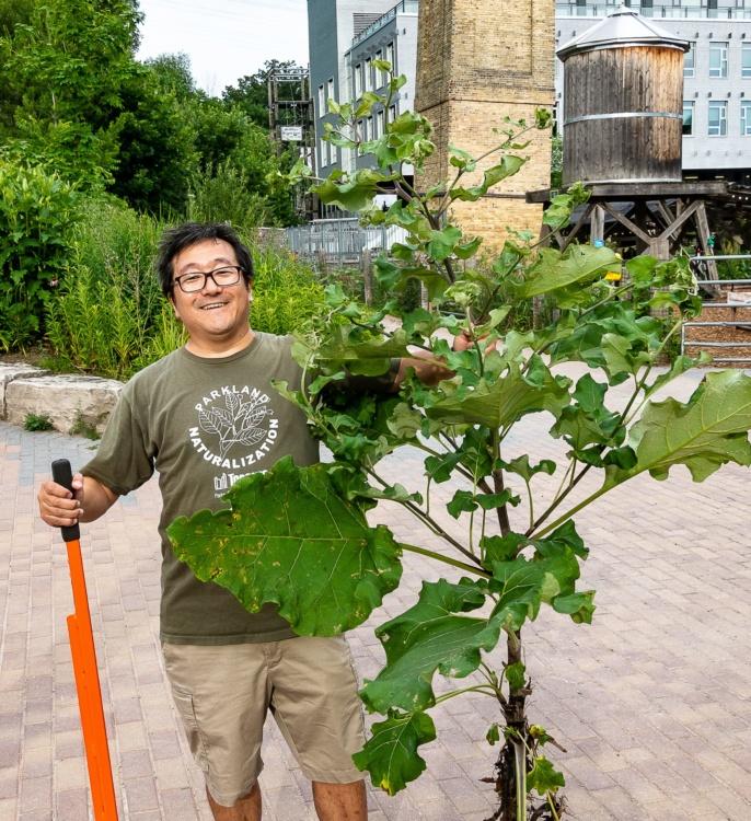 Ian Darragh, Volunteer Al Yoshiki removes a giant invasive plant, 2019