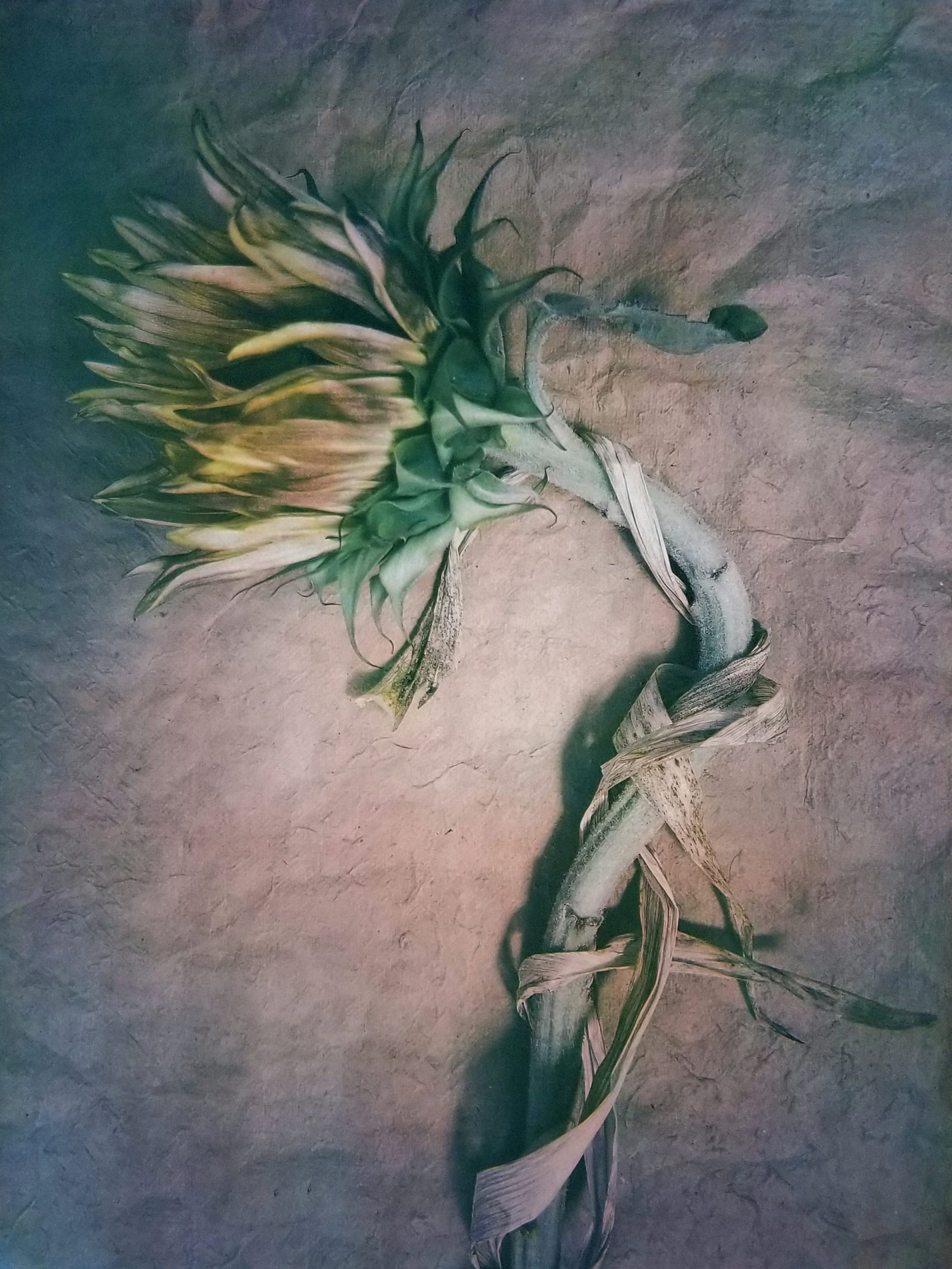 Diana H. Bloomfield, Sunflower, 2018. Courtesy of the artist.
