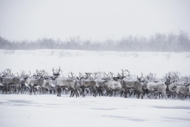 """Jason van Bruggen, Reindeer Herd #4, 2015. Chromogenic print, 40x60""""."""
