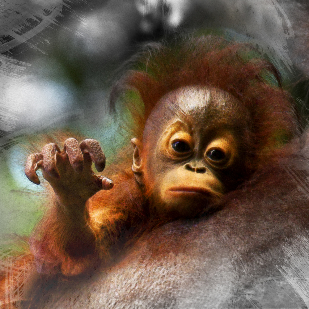 Misha Masek, Critically endangered orangutan, 2015