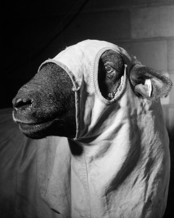 "Alec Soth, Sheep, 1996. Archival pigment print, 24 x 30""."
