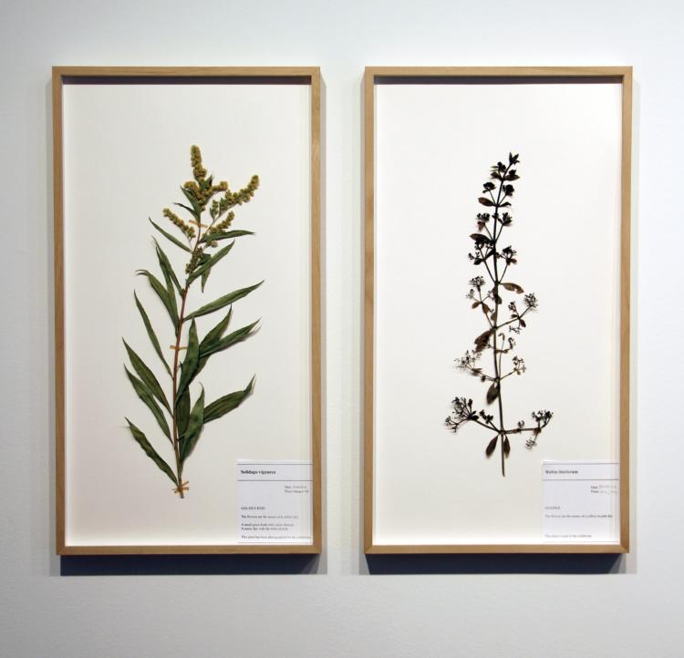Corin Sworn, Botanical specimen (Scottish goldenrod) and Botanical specimen (madder), 2014. Courtesy of Oakville Galleries.