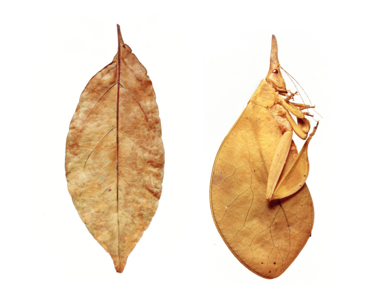 Sandy Nicholson, leaf and leaf insect, from the mimic series, 2006