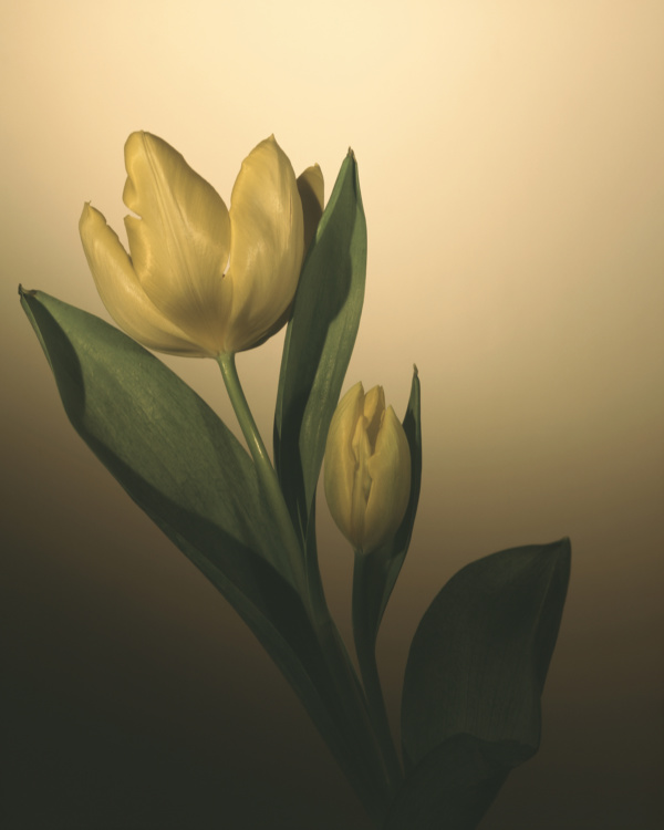 Rick Brazeau, Tulip for, 16x20 Giclee