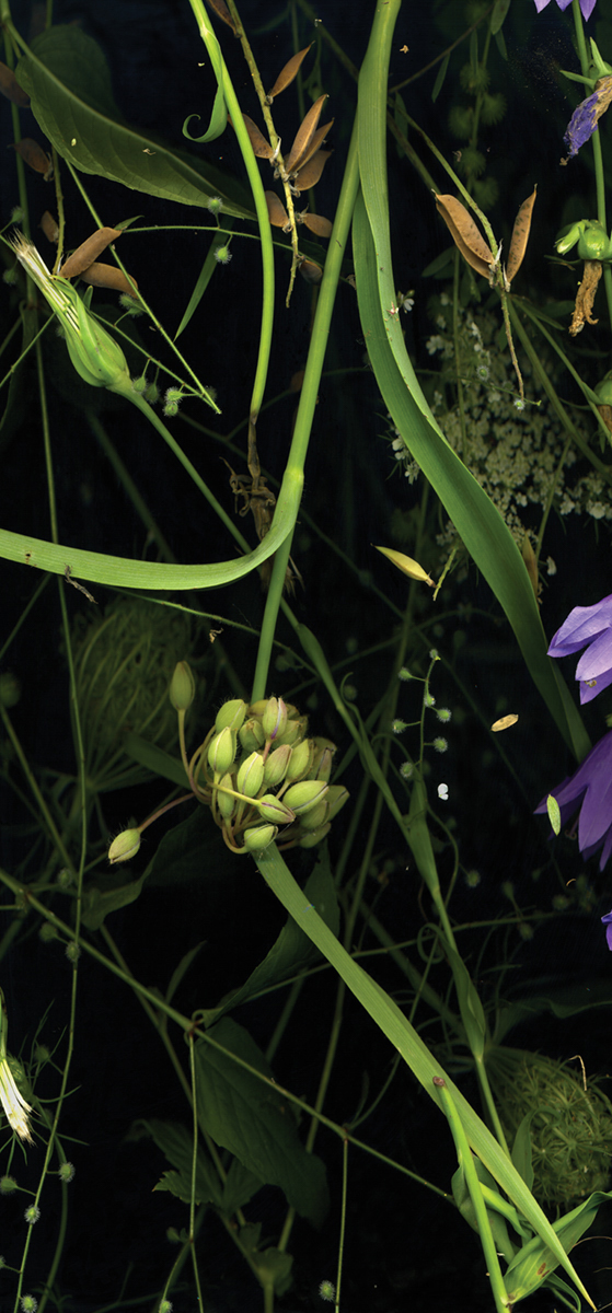 Sara Angelucci, JULY 31 (Spiderwort, Bellflower, Pea Flower, Queen Anne's Lace, Salsify, Forget-Me-Nots), (detail), from the series Nocturnal Botanical Ontario, 2020. Courtesy of the artist, Stephen Bulger Gallery, and Patrick Mikhail Gallery