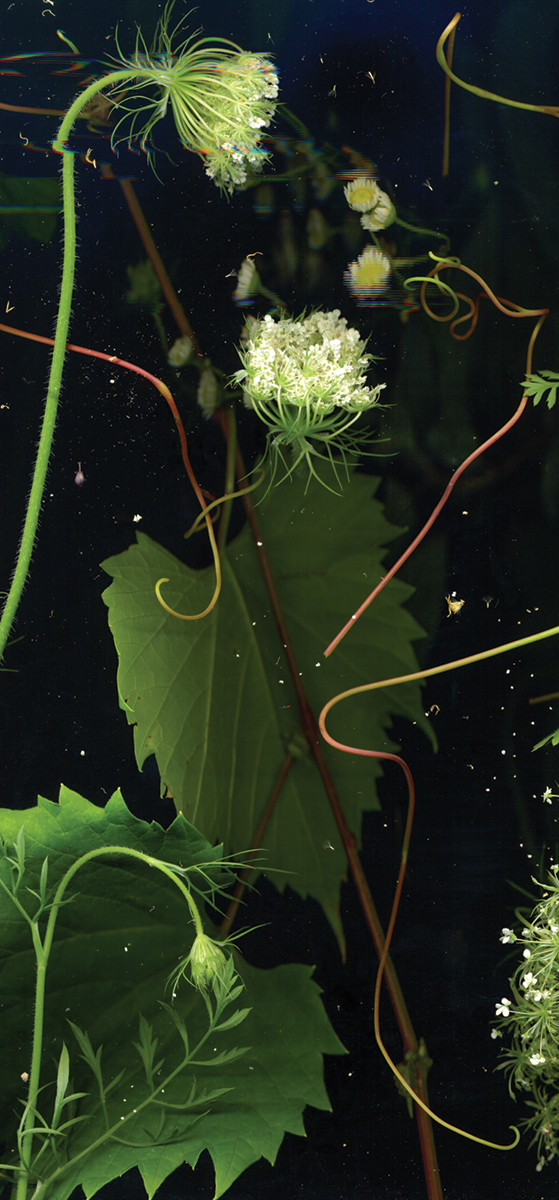 Sara Angelucci, JULY 24 (Queen Anne's Lace, Wild Grape, Daisy Fleabane), (detail), from the series Nocturnal Botanical Ontario, 2020. Courtesy of the artist, Stephen Bulger Gallery, and Patrick Mikhail Gallery