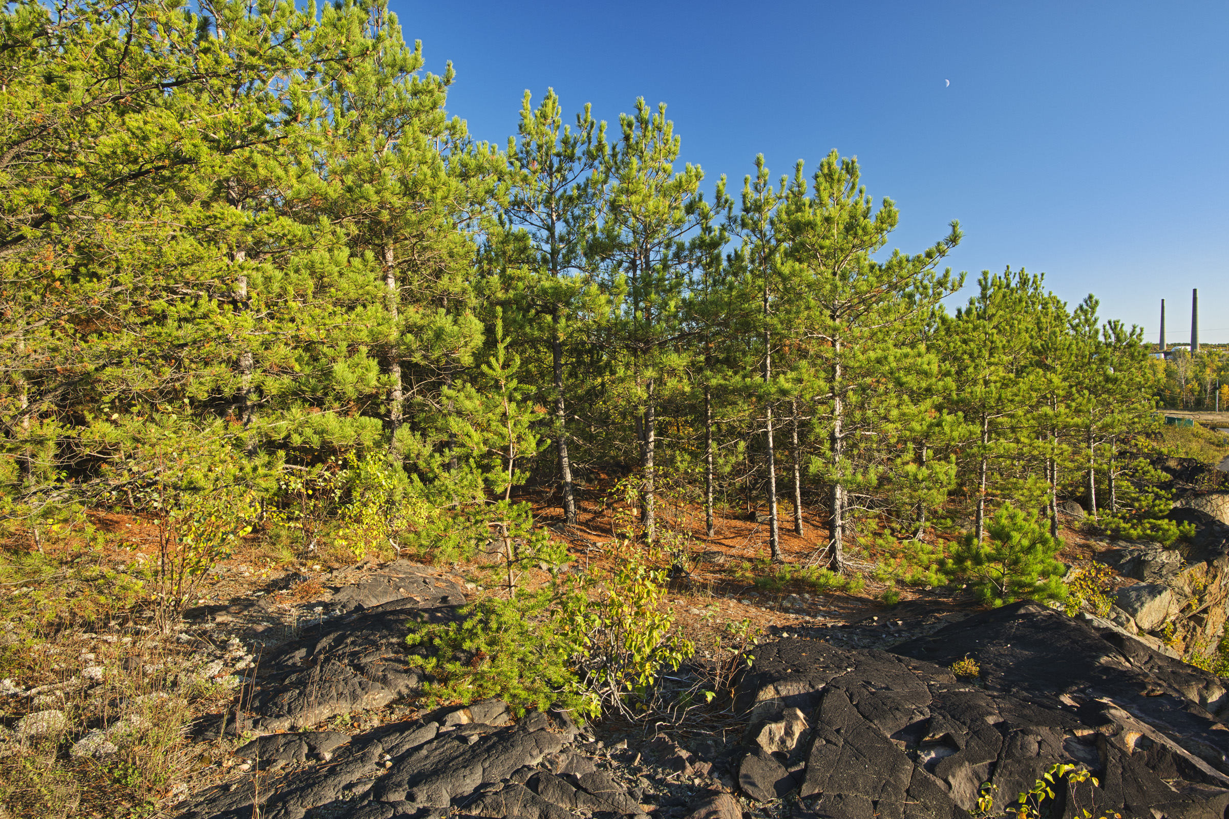©  Mike Grandmaison, Pine Trees on the Jane Goodall Interpretive Trail, 2019, Sudbury, Ontario