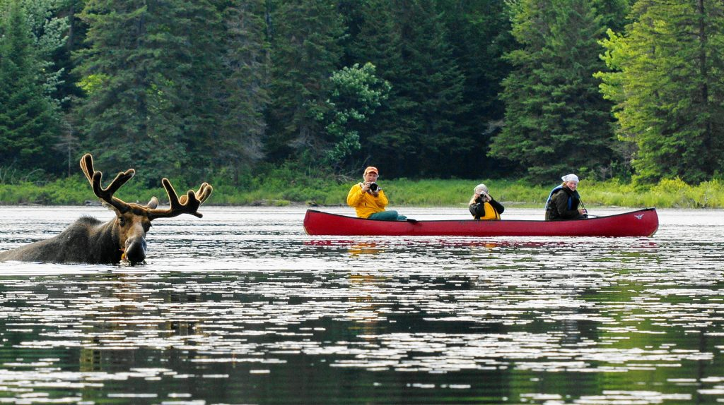 Red canoe on a lake with three people looking at a Moose in the water.